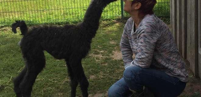 Balade avec des lamas- image